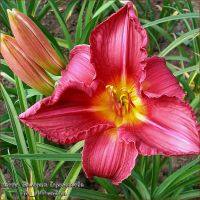 Лилейник 'Самэ Вайн' / Hemerocallis 'Summer Wine'